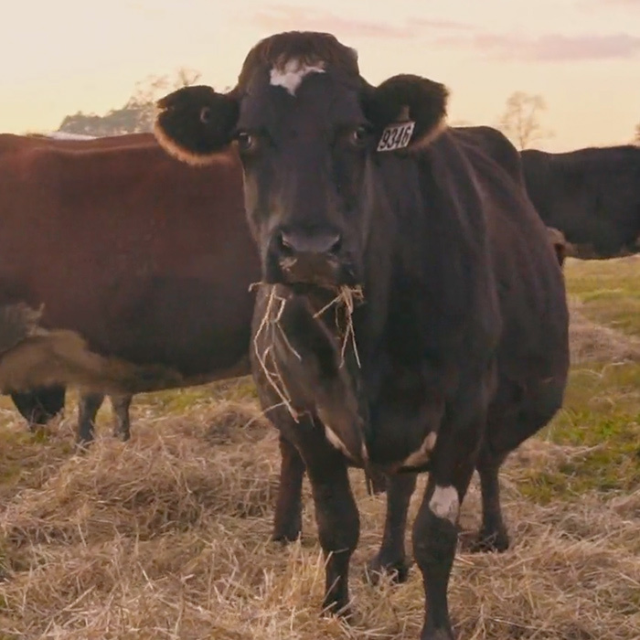 Ashgrove - Happiest cows on the planet